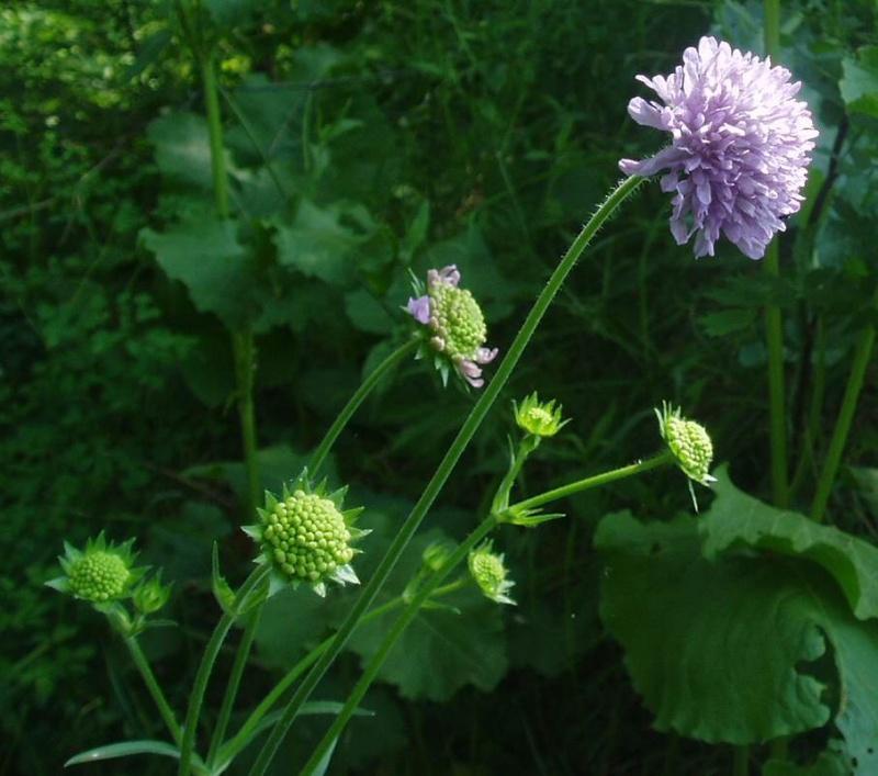 вниманию предлагается картинка цветка короставника информация фотоаренде